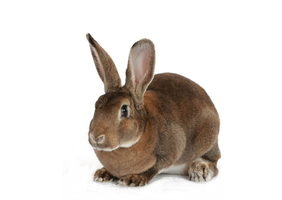 Domestic Rabbit | Oakvale Wildlife