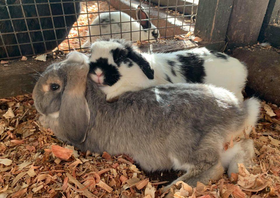 Flemish Giant Rabbit | Oakvale Wildlife