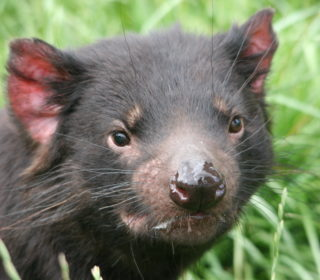 Tasmanian Devil Talk | Oakvale Wildlife