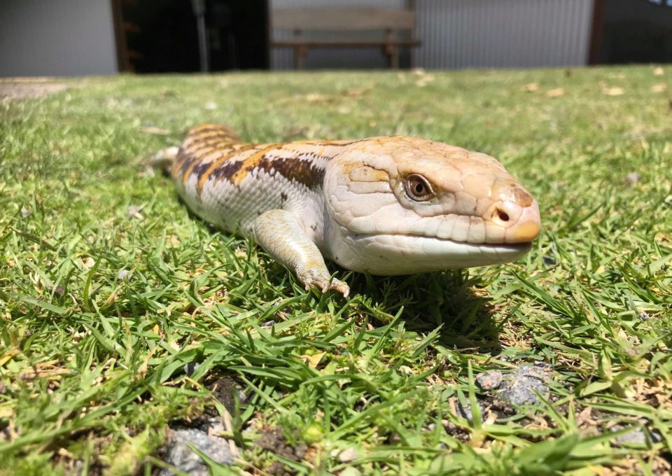 Eastern Blue-Tongue Skink | Oakvale Wildlife
