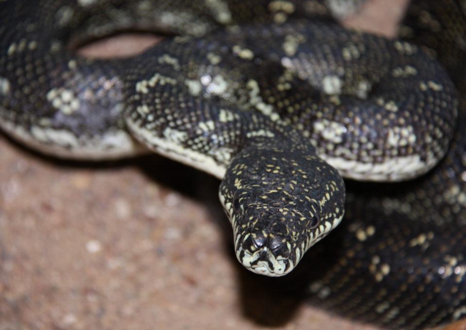 Diamond Python | Oakvale Wildlife