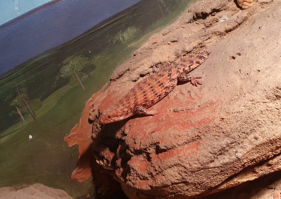 Eastern Pilbara Spiny-tailed Skink | Oakvale Wildlife