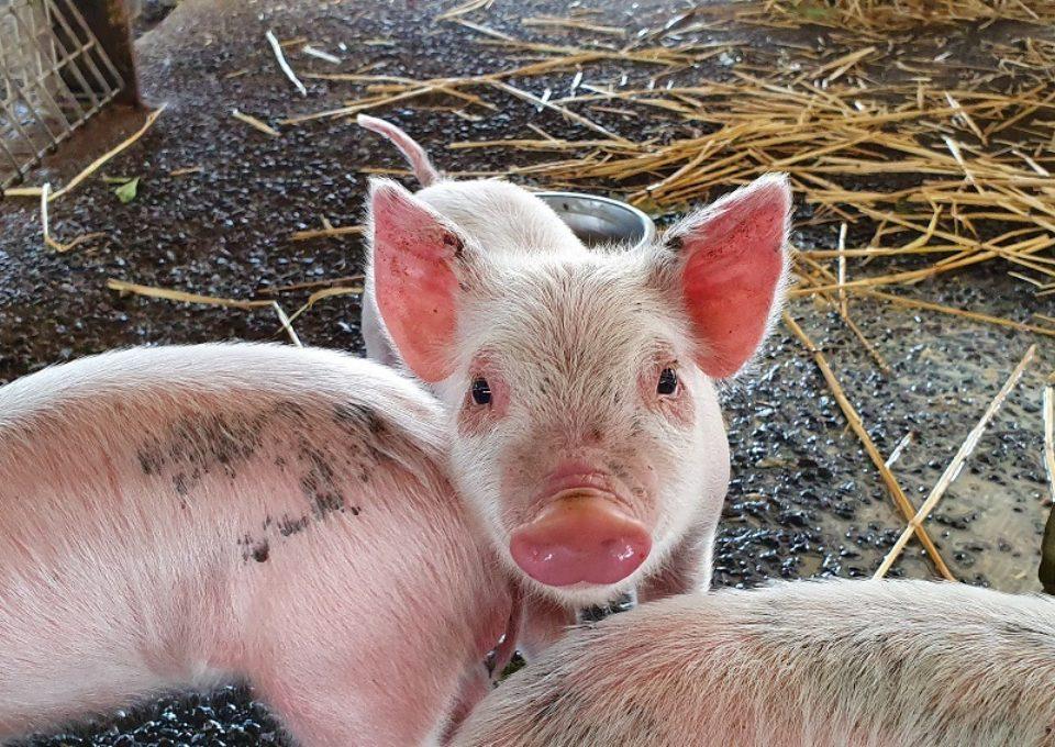 Domestic Pig | Oakvale Wildlife
