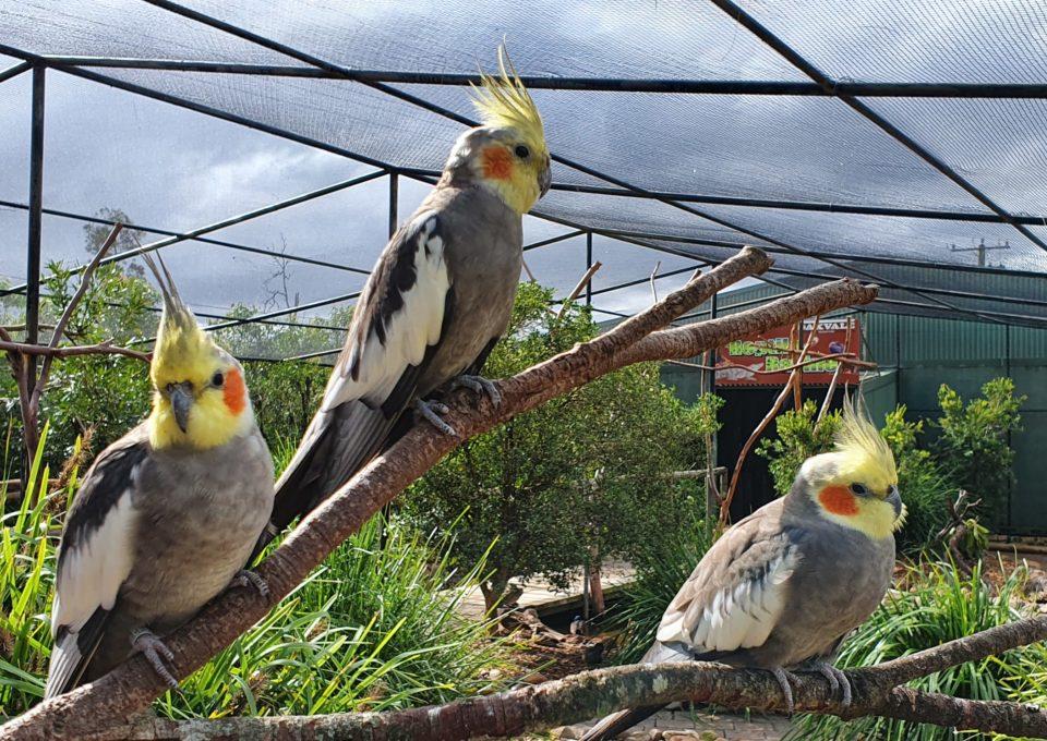 Cockatiel | Oakvale Wildlife
