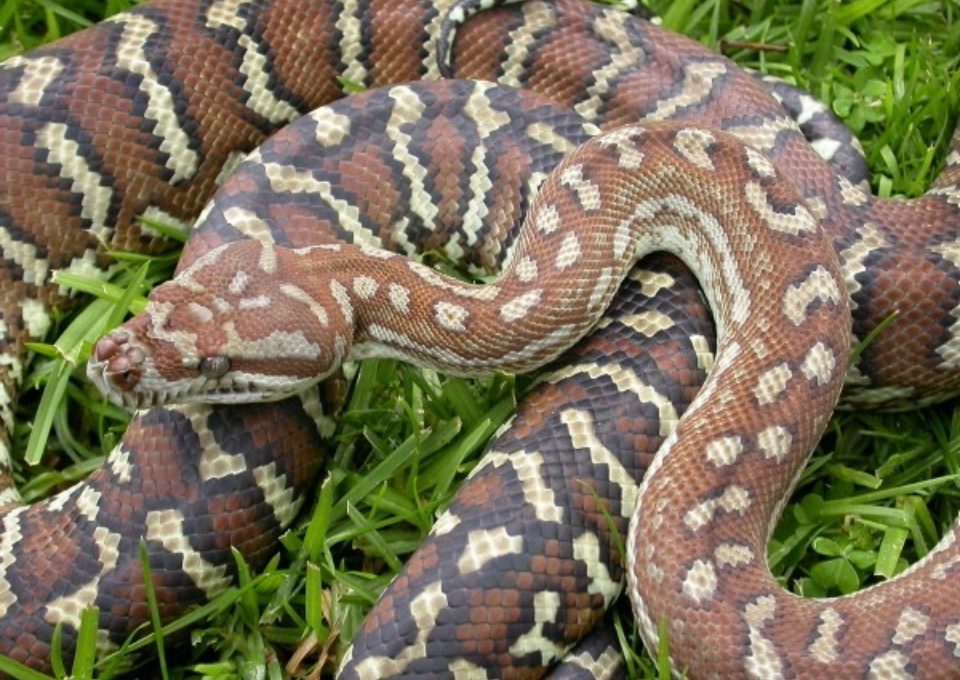 Centralian Carpet Python | Oakvale Wildlife
