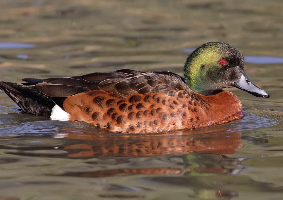 Chestnutteal Duck | Oakvale Wildlife