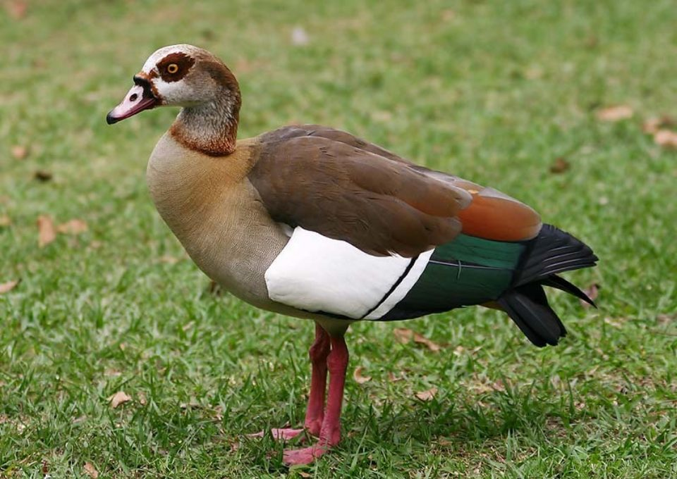 Egyptian Goose | Oakvale Wildlife