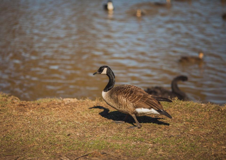 Canada Goose | Oakvale Wildlife