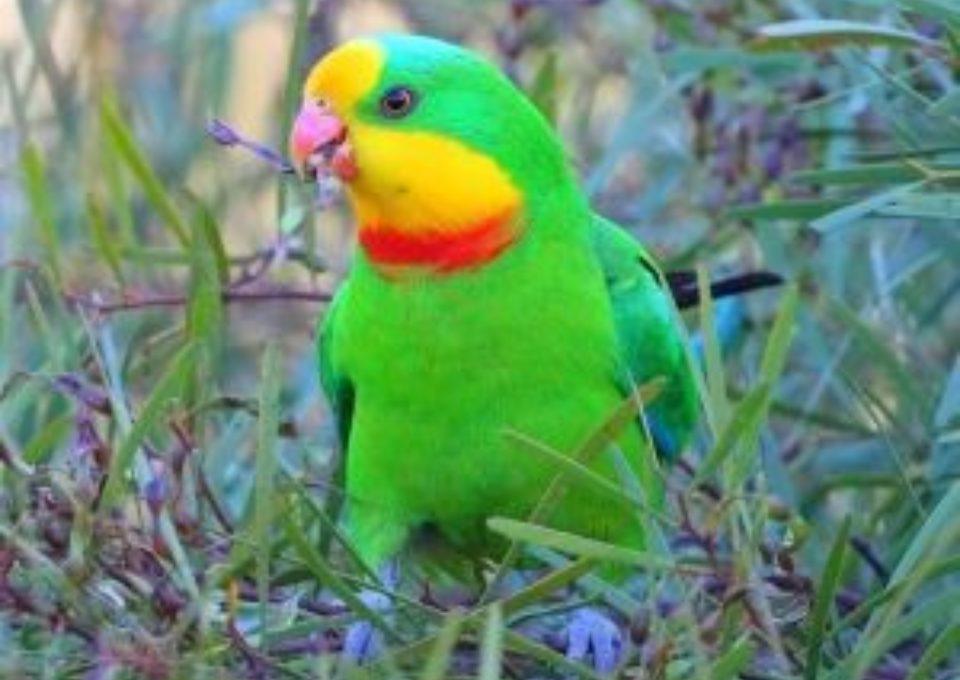 Superb Parrot | Oakvale Wildlife