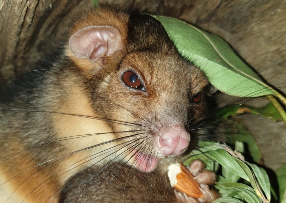 Ringtail Possum | Oakvale Wildlife