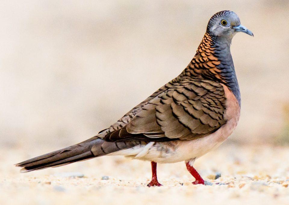 Bar-shouldered Dove | Oakvale Wildlife