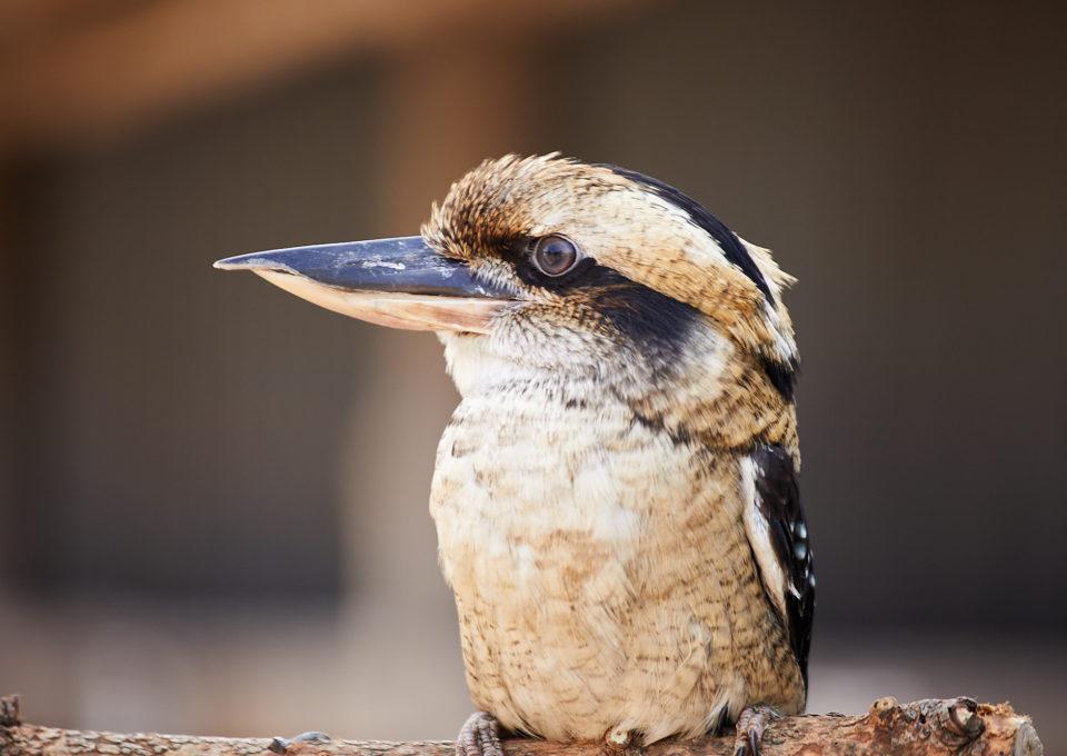 Laughing Kookaburra | Oakvale Wildlife