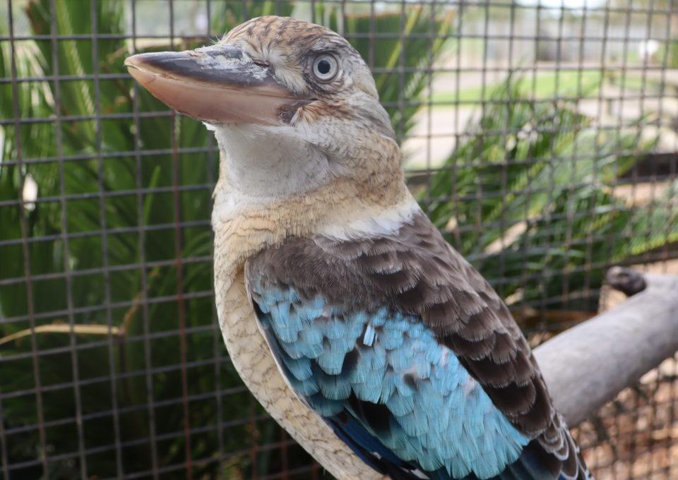 Blue-winged Kookaburra | Oakvale Wildlife