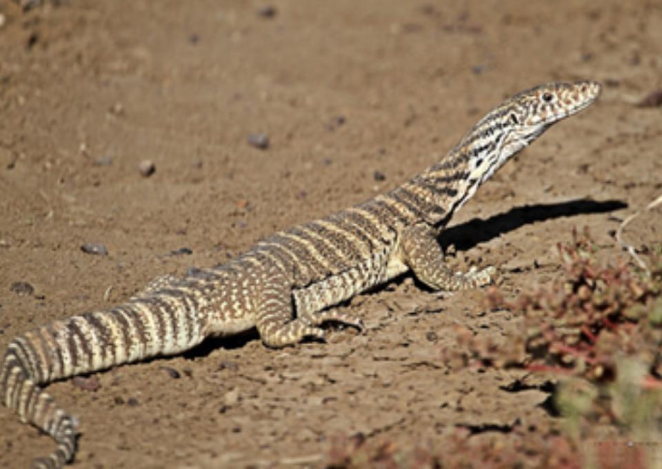 Spencer's Monitor | Oakvale Wildlife