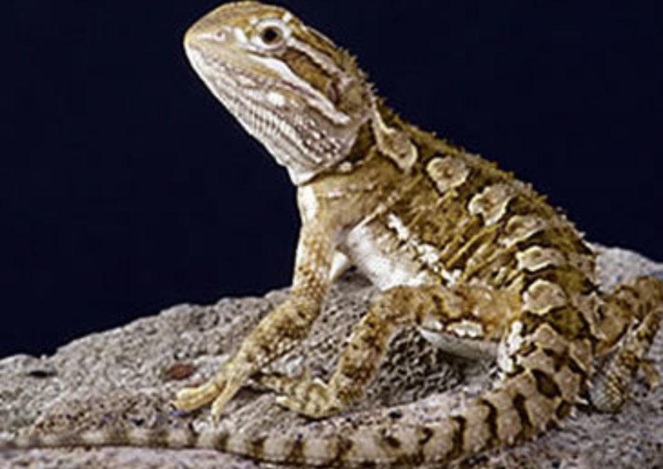 Pygmy Bearded Dragon | Oakvale Wildlife